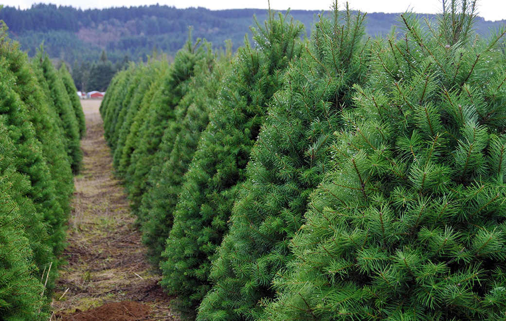 Christmas Tree Care | Eby's Evergreen Plantation | Bristol, IN |