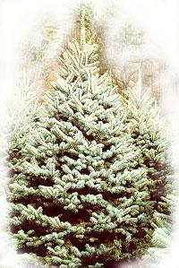 b_spruce