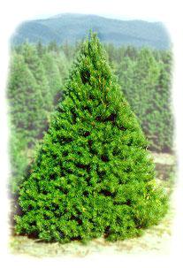 s_pine2