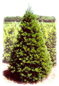 Cut Your Own Christmas Trees | Eby's Evergreen Plantation | Bristol IN |